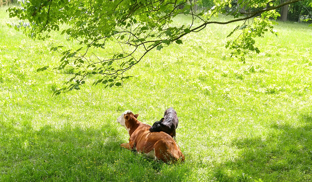 Calf Lucy nuzzling against cow Elsa laying in a field of grass under the shade of trees