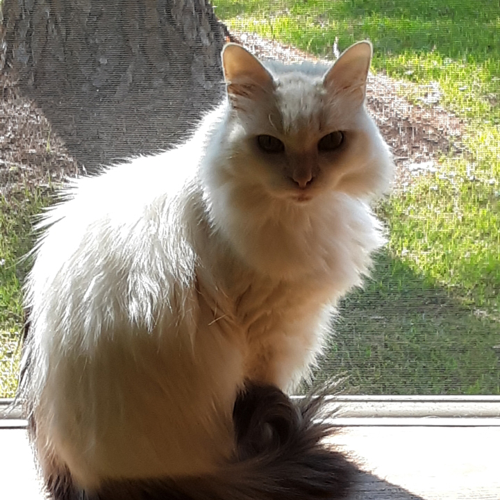 Fluffy white cat name Miss Priss available for adoption