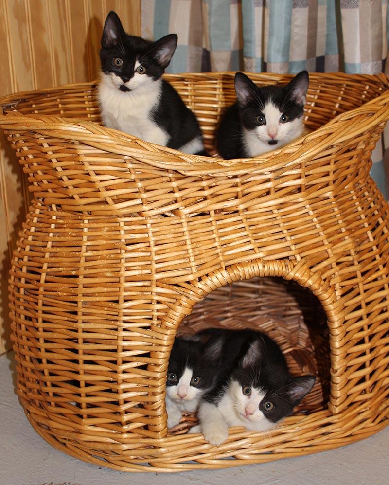 Kittens for adoption in Asheville